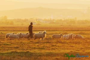 5. The Shepherd and its herd at Sunset