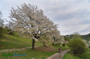 spring-riding-and-blossom-wild-cherry-trees