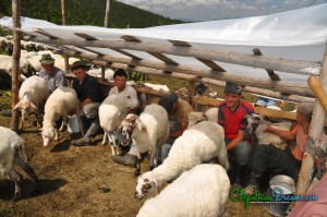 10b. Milking sheep